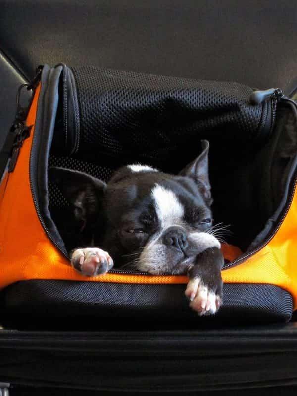 Пътуване с домашни животни в самолет